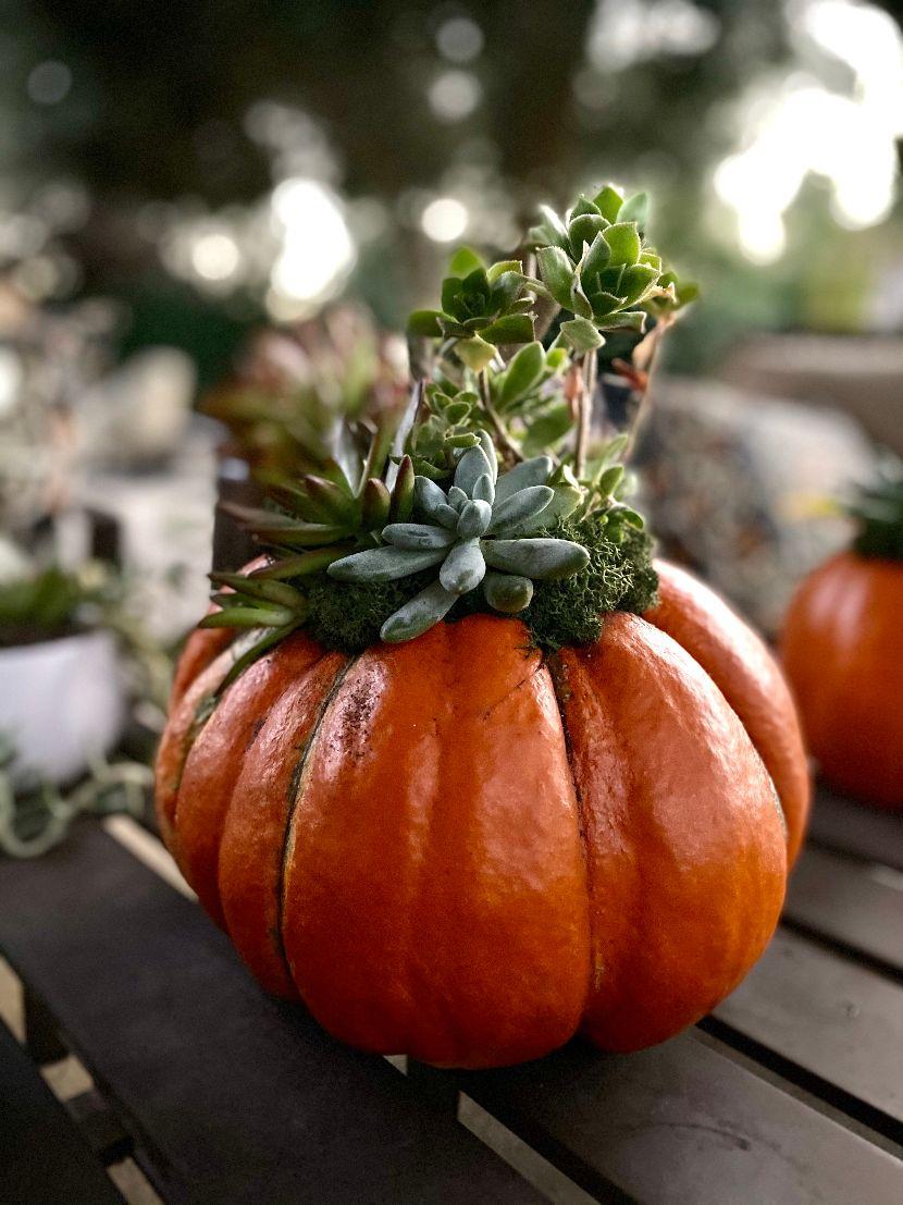 Diy Succulent Pumpkins Frugelegance